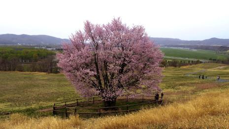 うらかわオバケ桜